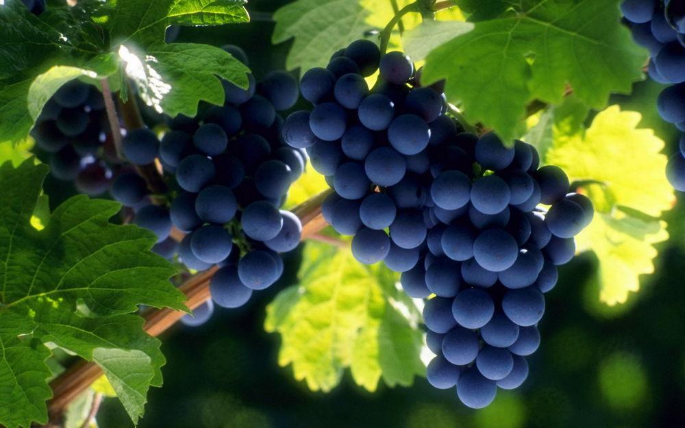 Возможно, просто «зелен виноград»